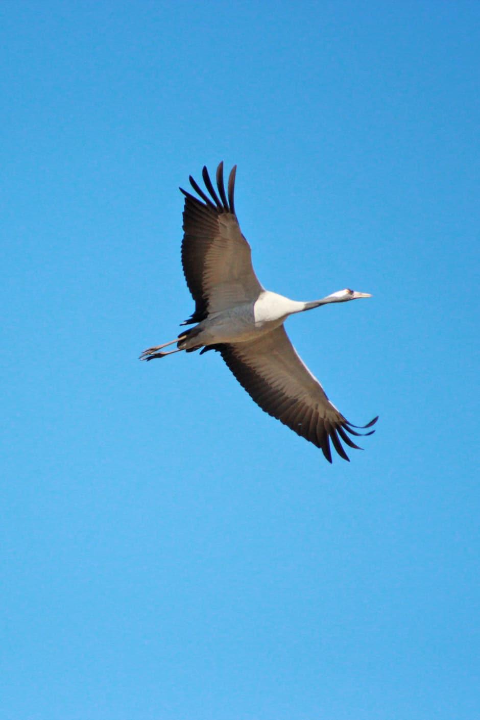 kraanvogel Zweden Hornborgasjön