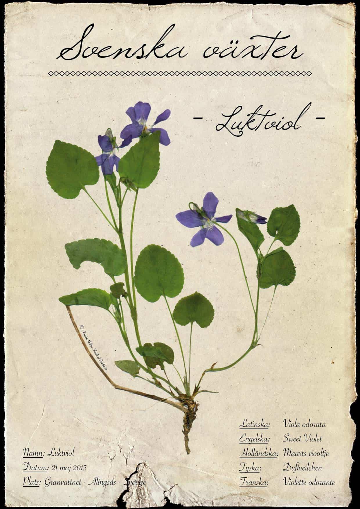 Herbarium maarts viooltje