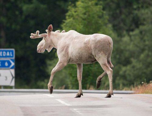 Magische beelden van een wit eland