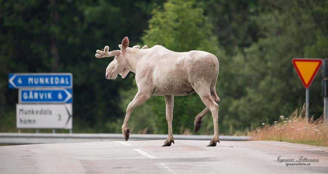 Wit eland Zweden